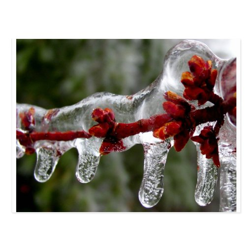 maple ice buds post card