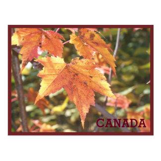 Maple Leaf 1 Postcard