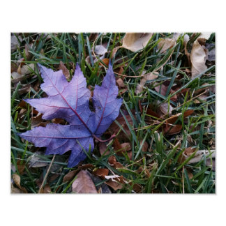 Maple leaf, among other fallen leaves, on grasses poster