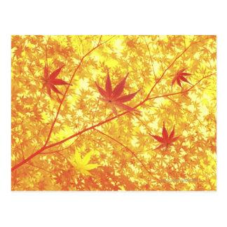 Maple leaves, close-up postcard