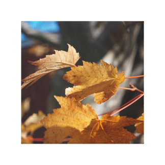 Maple Leaves in Fall Canvas Prints