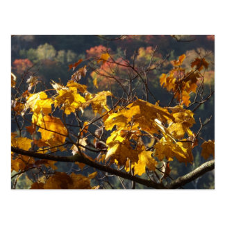Maple leaves in Vermont Postcard