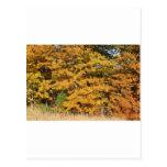 Maple Splendour Post Card