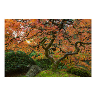 Maple Tree At The Japanese Gardens In Autumn Posters