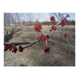 Maple Tree Buds Poster