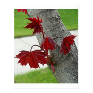Maple Tree Note Cards Post Card