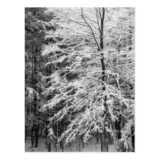Maple Tree Outlined In Snow Postcard