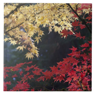 Maple trees in autumn color tile