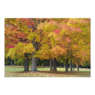 Maple trees in autumn colors, near Concord, Photo Print