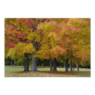 Maple trees in autumn colors, near Concord, Posters