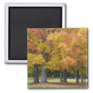 Maple trees in autumn colors, near Concord, Square Magnet