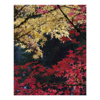 Maple trees in autumn colour poster