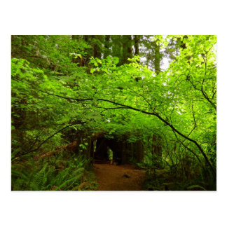 Maple Trees in Redwood Forest Postcard