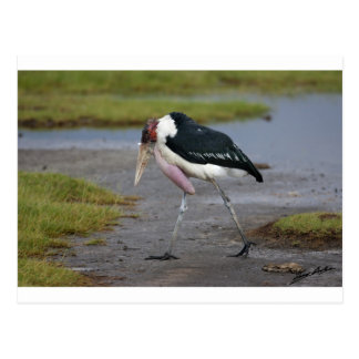 Marabou Stork Postcard