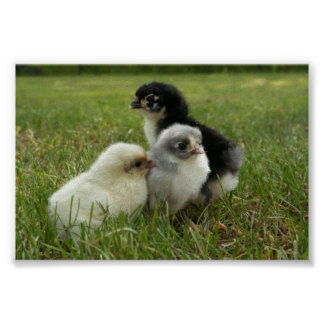 Marans Chicks Poster