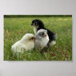 Marans Chicks Print