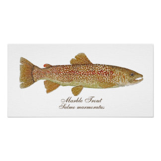 Marble Trout Poster