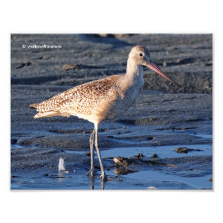 Marbled Godwit at Sunset Photographic Print