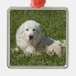 Maremma sheepdog in pasture acts as a livestock Silver-Colored square decoration
