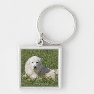 Maremma sheepdog in pasture acts as a livestock Silver-Colored square key ring