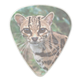 Margay, Leopardus wiedi, Native to Mexico into Acetal Guitar Pick