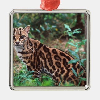 Margay, Leopardus wiedi, Native to Mexico into Christmas Ornament