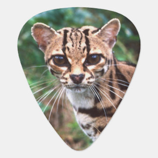 Margay, Leopardus wiedi, Native to Mexico into Guitar Pick
