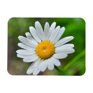 Marguerite-wild-flower426 WILDFLOWERS DAISY  SPRIN Rectangular Magnets