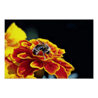 Marigold with bee  flowers posters