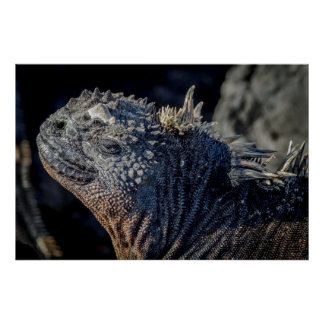 Marine Iguana close-up of head and spines Poster