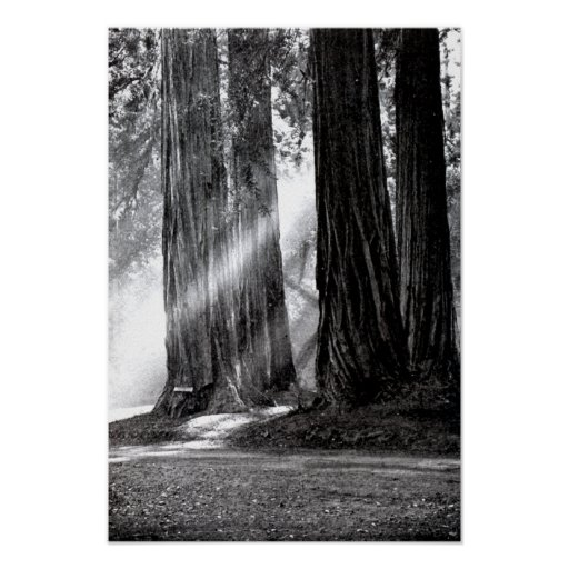 Mariposa California Redwoods Sunlight Poster