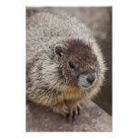 Marmot at Palouse Falls State Park Posters