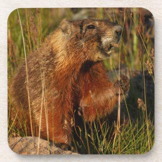 marmot eating grass drink coaster