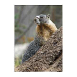 Marmot Meaning against a Rock Acrylic Print