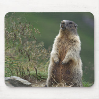 Marmota marmota mousepad