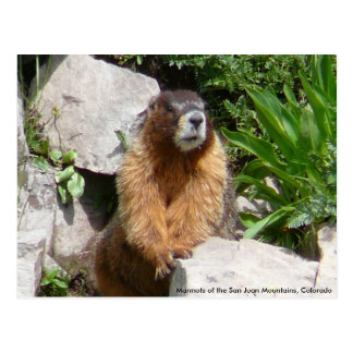 Marmots of the San Juan Mountains, Co... Post Cards