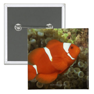 Maroon clownfish with sea anemone 15 cm square badge