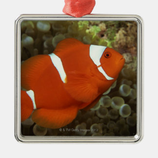 Maroon clownfish with sea anemone christmas ornament
