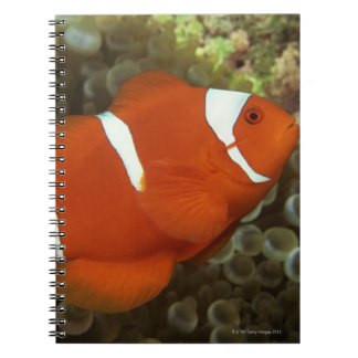 Maroon clownfish with sea anemone notebook