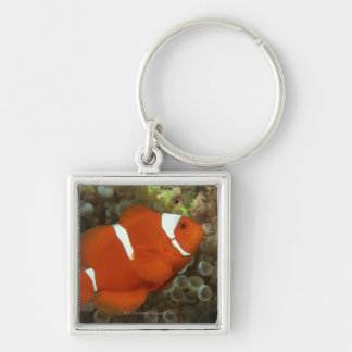 Maroon clownfish with sea anemone Silver-Colored square key ring