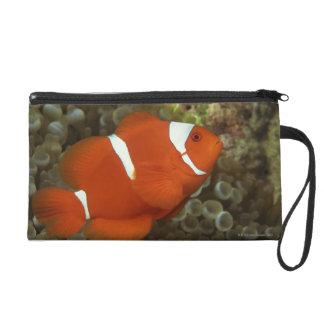 Maroon clownfish with sea anemone wristlet