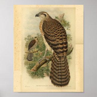 Marquis Doria's Goshawk Bird Color Vintage Print