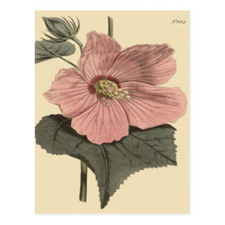 Marsh Hibiscus Botanical Illustration Postcard