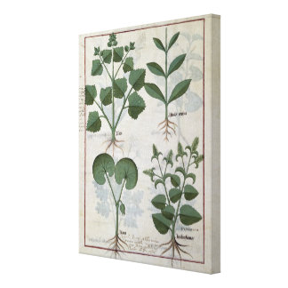 Marshmallow & Hastula Regia Asarabacca & Canvas Print