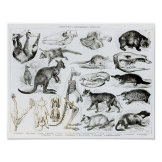 Marsupialia, Monetremata, Edentata Poster