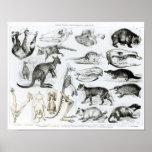 Marsupialia, Monetremata, Edentata Posters