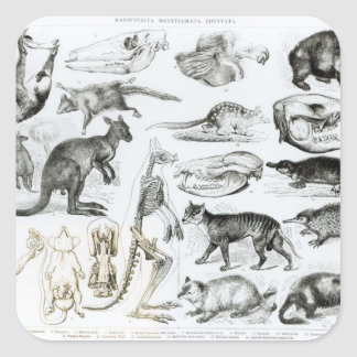 Marsupialia, Monetremata, Edentata Square Sticker