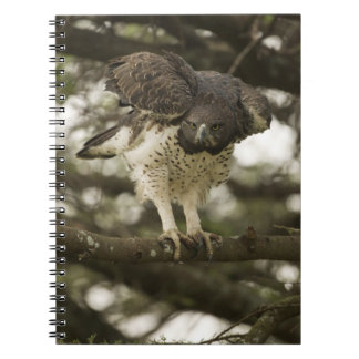 Martial Eagle adult in tree Notebook