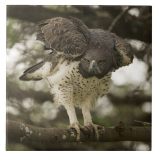 Martial Eagle adult in tree Tile
