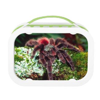 Martinique Tree Spider, Avicularia versicolor, Lunch Box